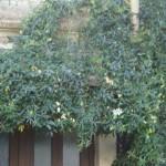 16 Mošćenice pasiflora